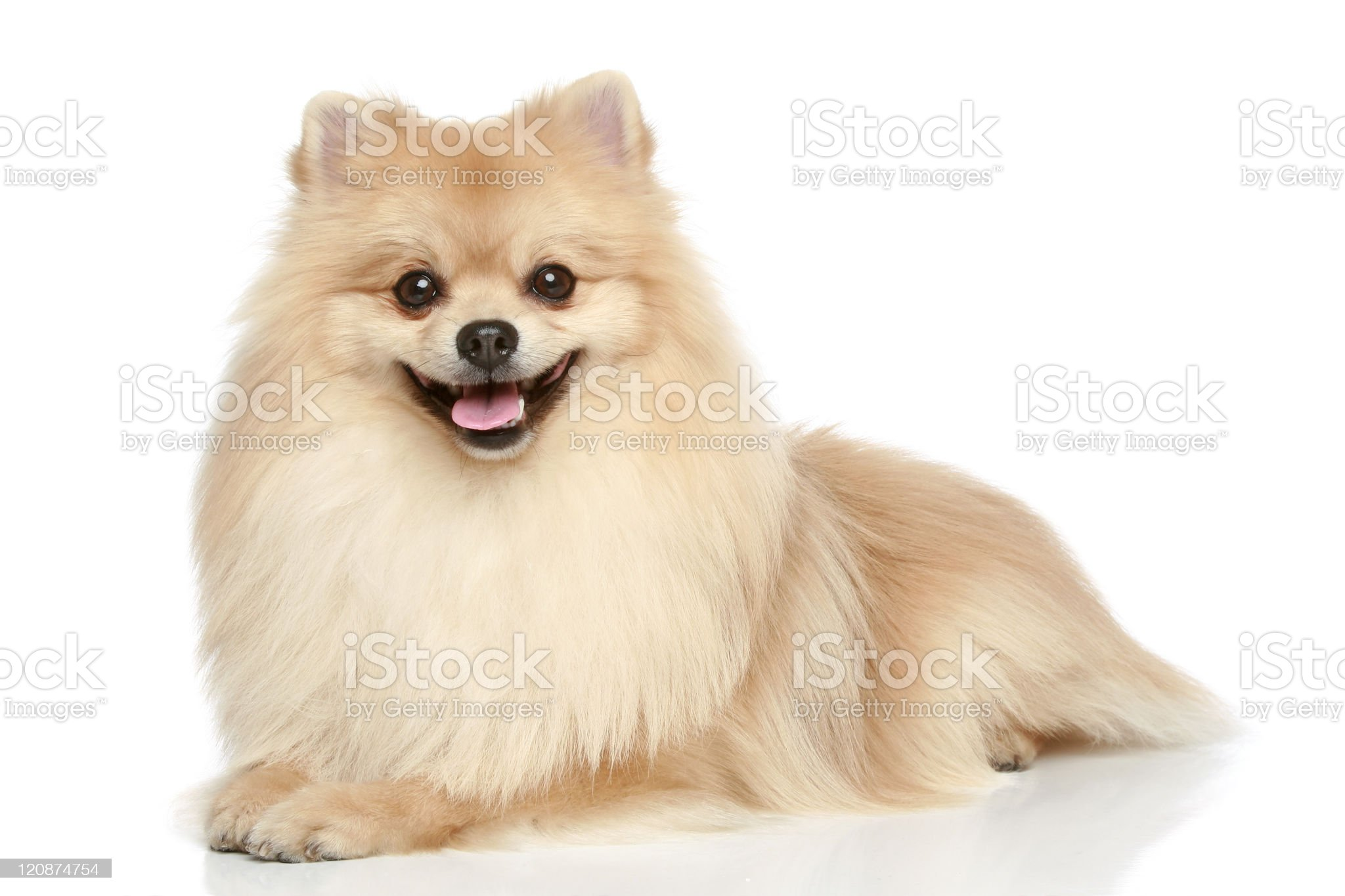 Pomeranian Spitz puppy on a white background royalty-free stock photo