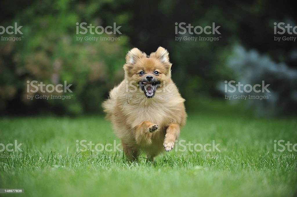 Pomeranian spitz puppy running toward the camera looking excited stock photo