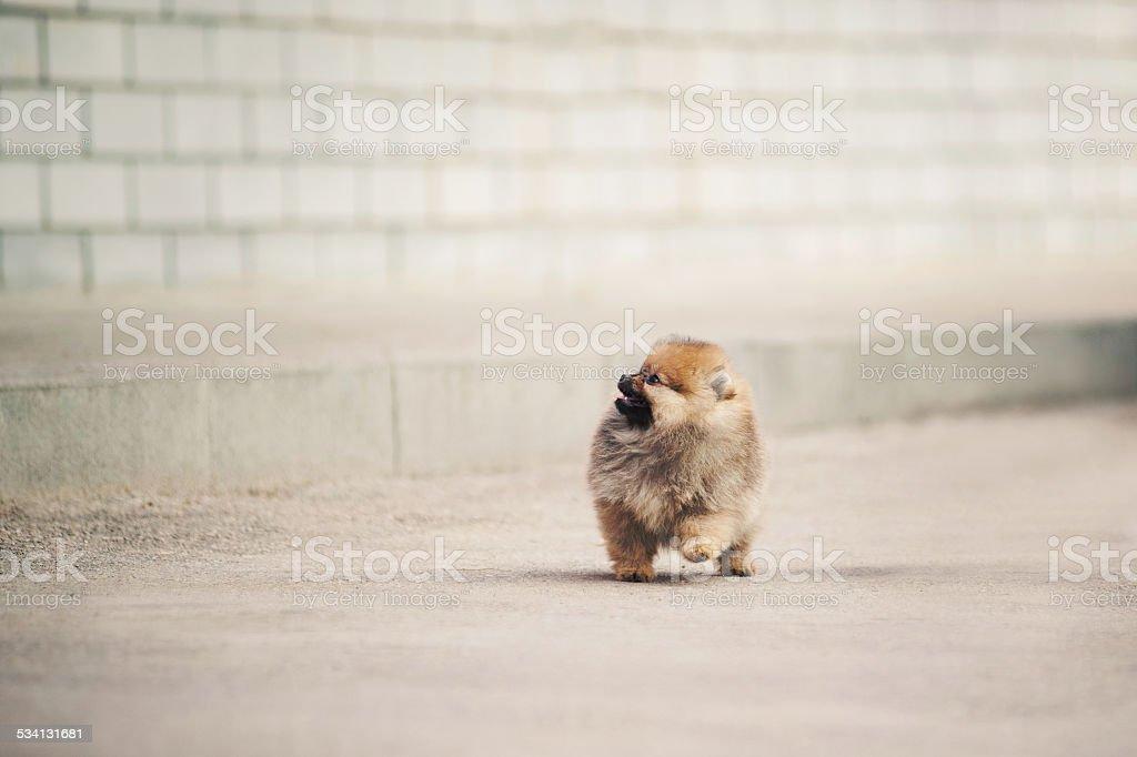 Pomeranian Spitz puppy walking stock photo