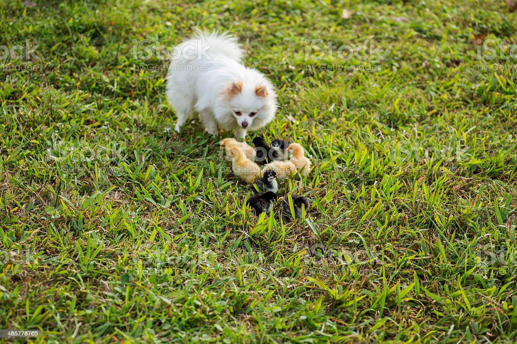 Pomeranian with baby chicks royalty-free stock photo