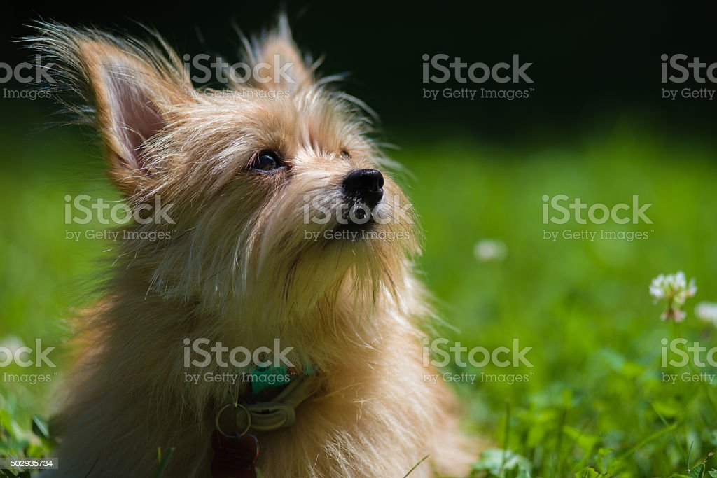 Pomeranian/Yorkshire terrier mix stock photo