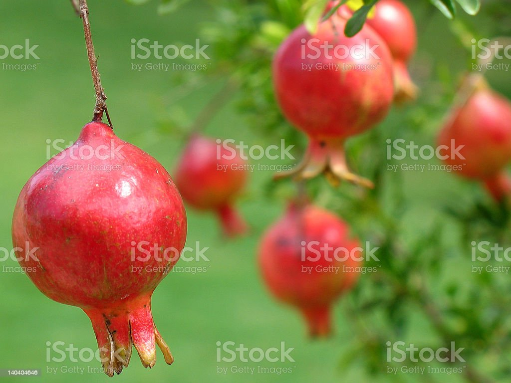 Pommegranates on tree royalty-free stock photo
