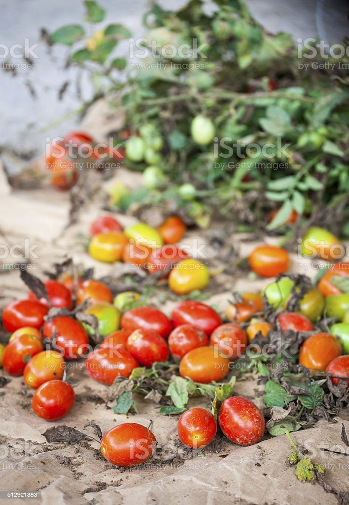 Pomodoro stock photo