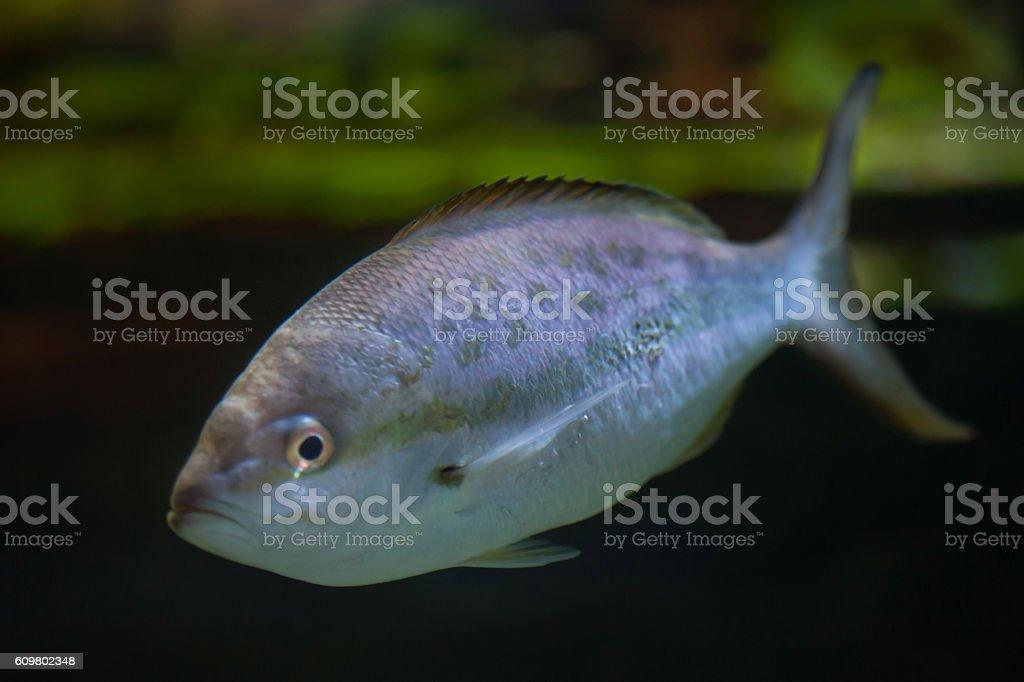 Pompano (Trachinotus ovatus). stock photo