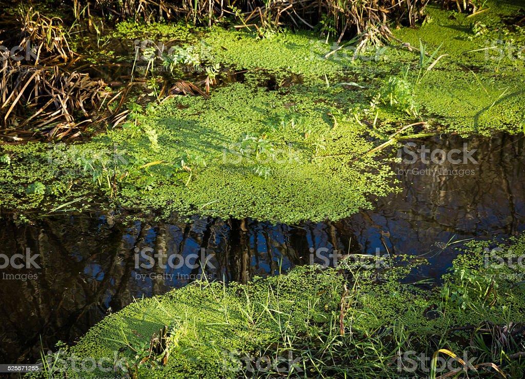 Pond Algae stock photo
