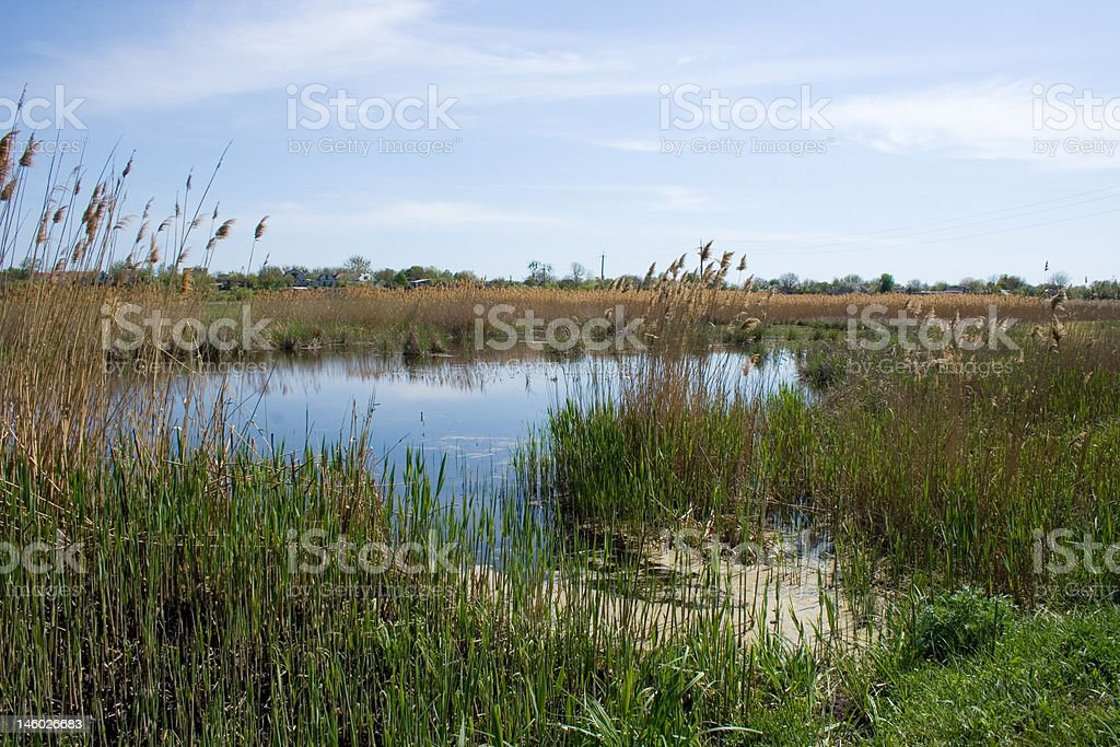 pond and reed stock photo