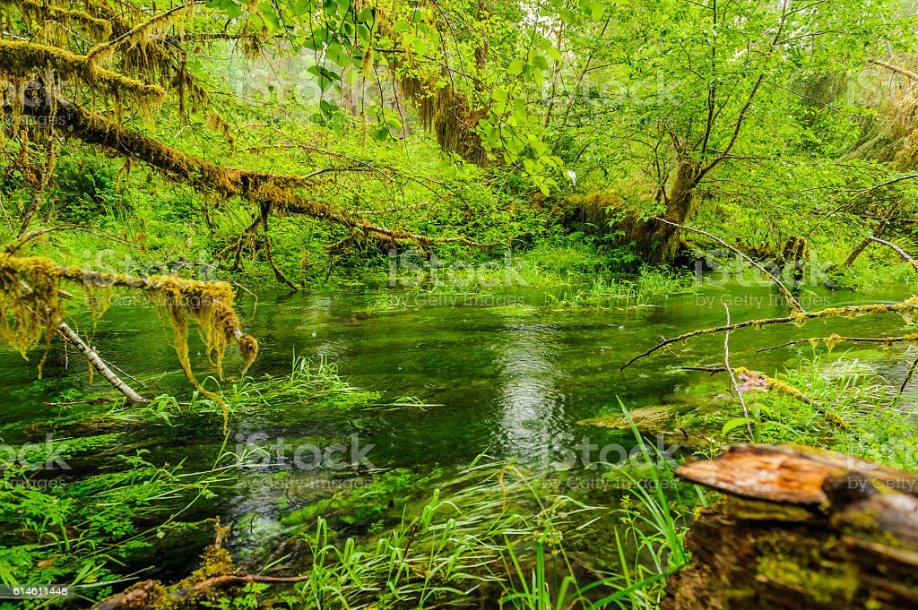 pond and trees covered with moss in the rain forest stock photo