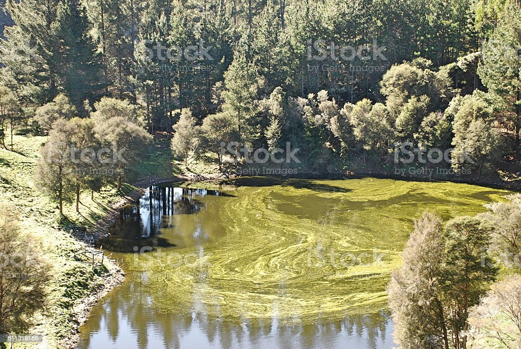 Pond Covered in Pine Pollen stock photo
