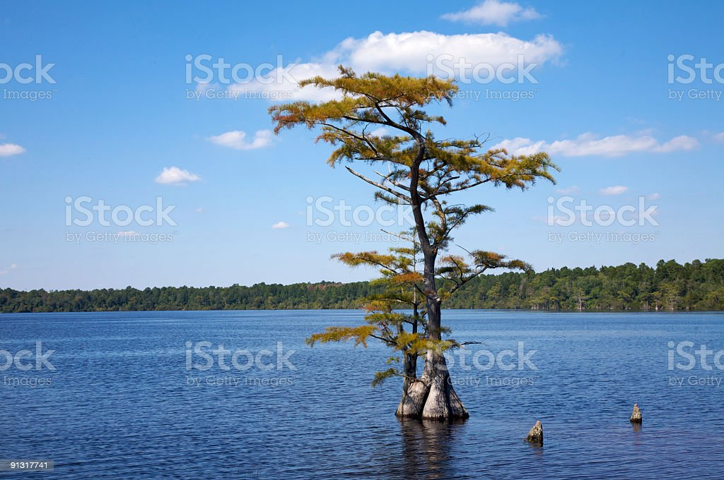 Pond Cypress, North Carolina stock photo