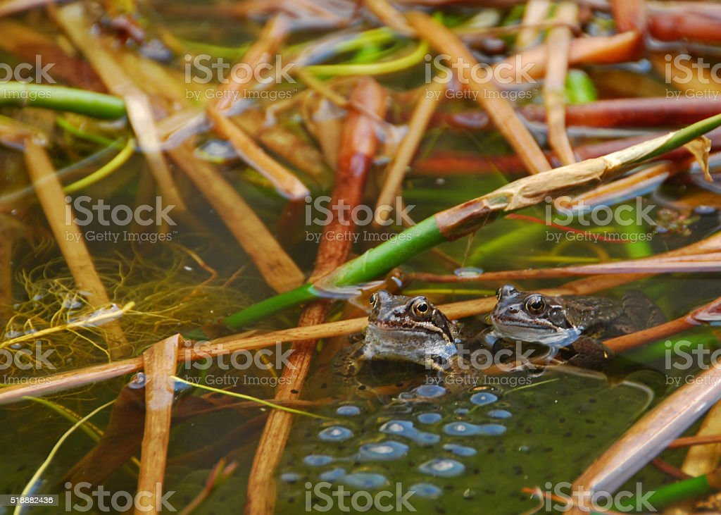 Pond life with two common toads with spawn. stock photo