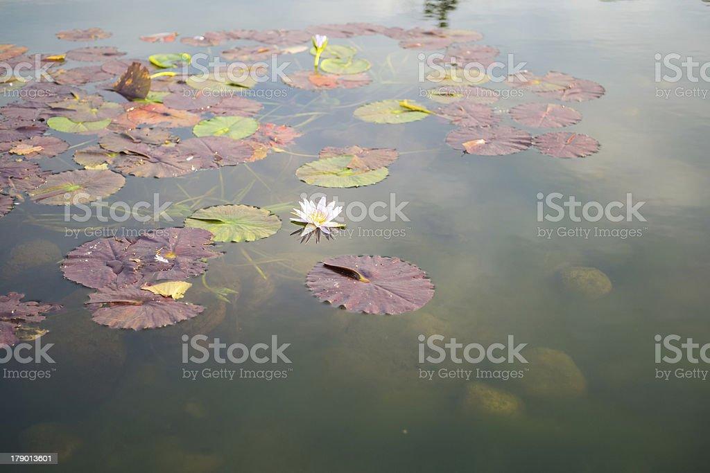 Pond lily stock photo
