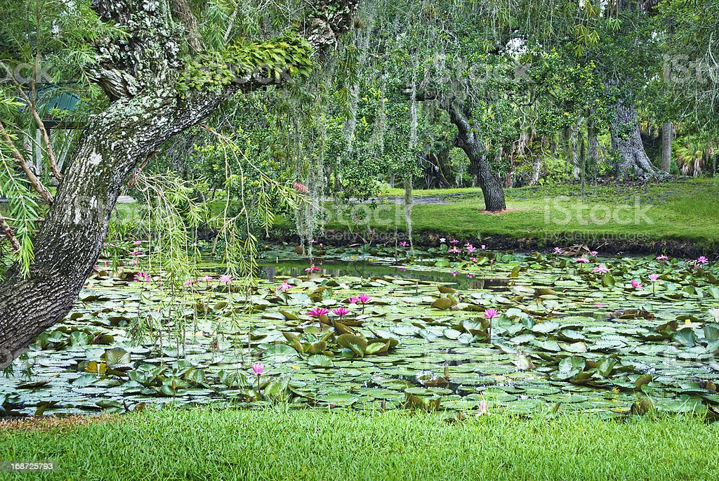 Pond of water lilies royalty-free stock photo