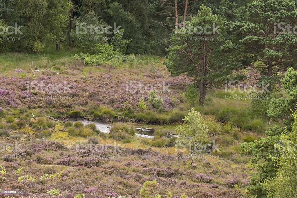 Pond on heathland in summer royalty-free stock photo