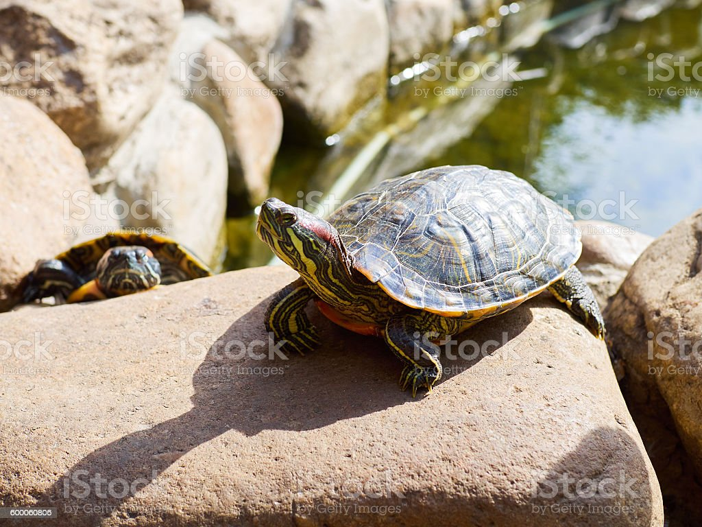 Pond slider on a stone in a sunny summer day. stock photo