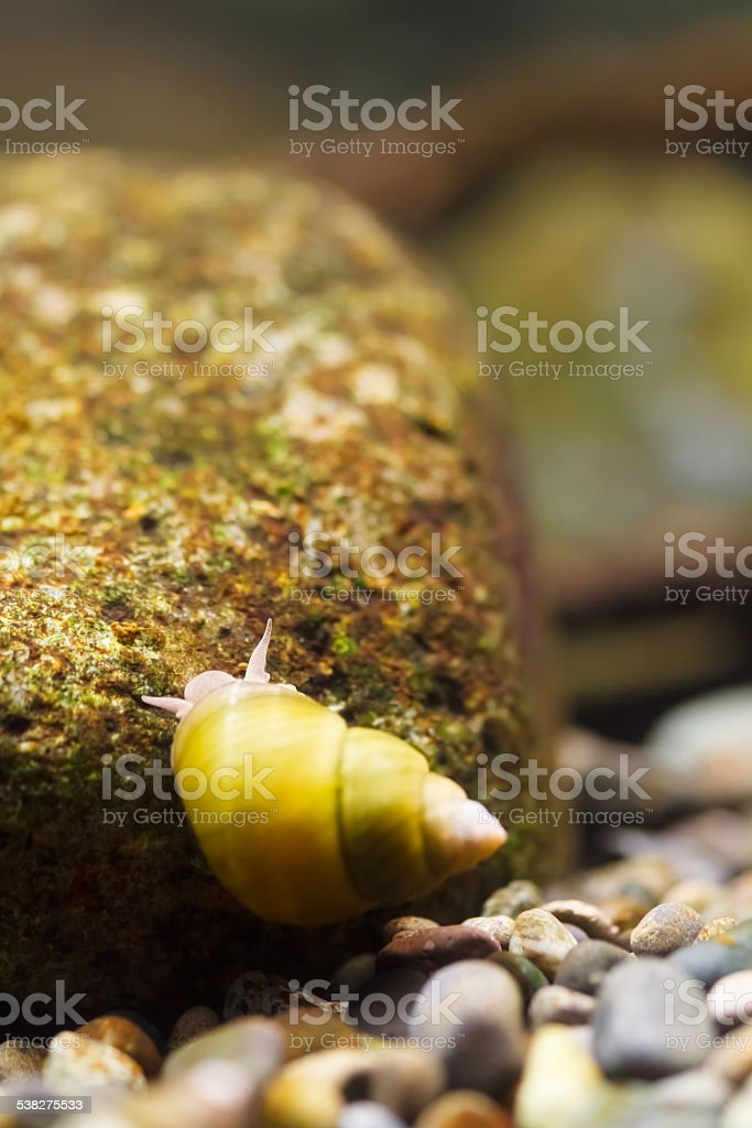 Pond Snail in a Japanese river. stock photo