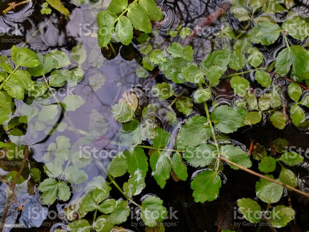 Pond Weed in the Water stock photo