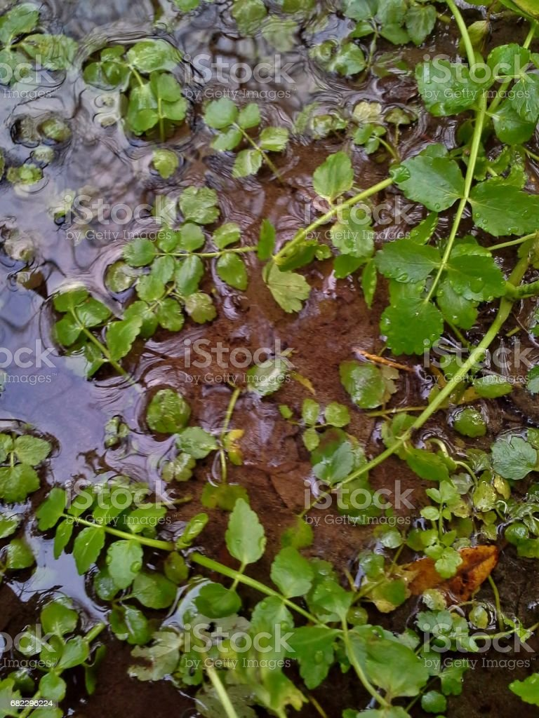 Pond Weed on the Water stock photo