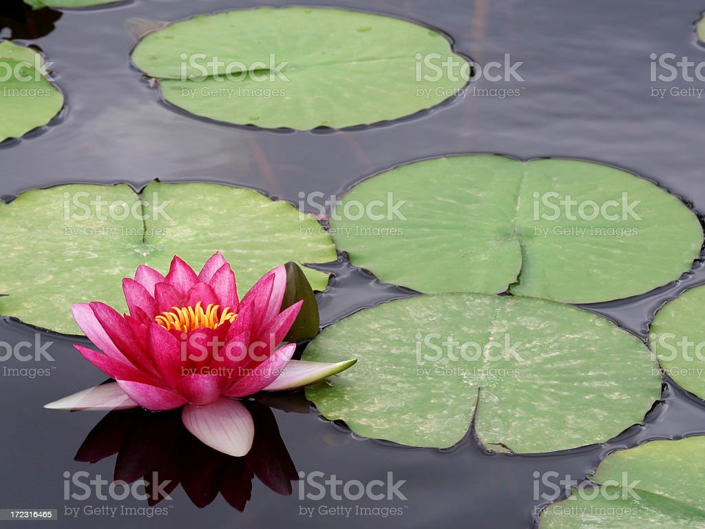 Pond with a bright pink and yellow water lily and lily pads  stock photo