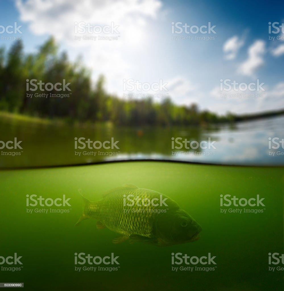 Pond with carp stock photo