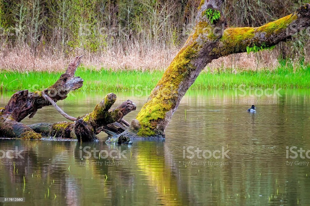 Pond with down moss covered tree and duck stock photo