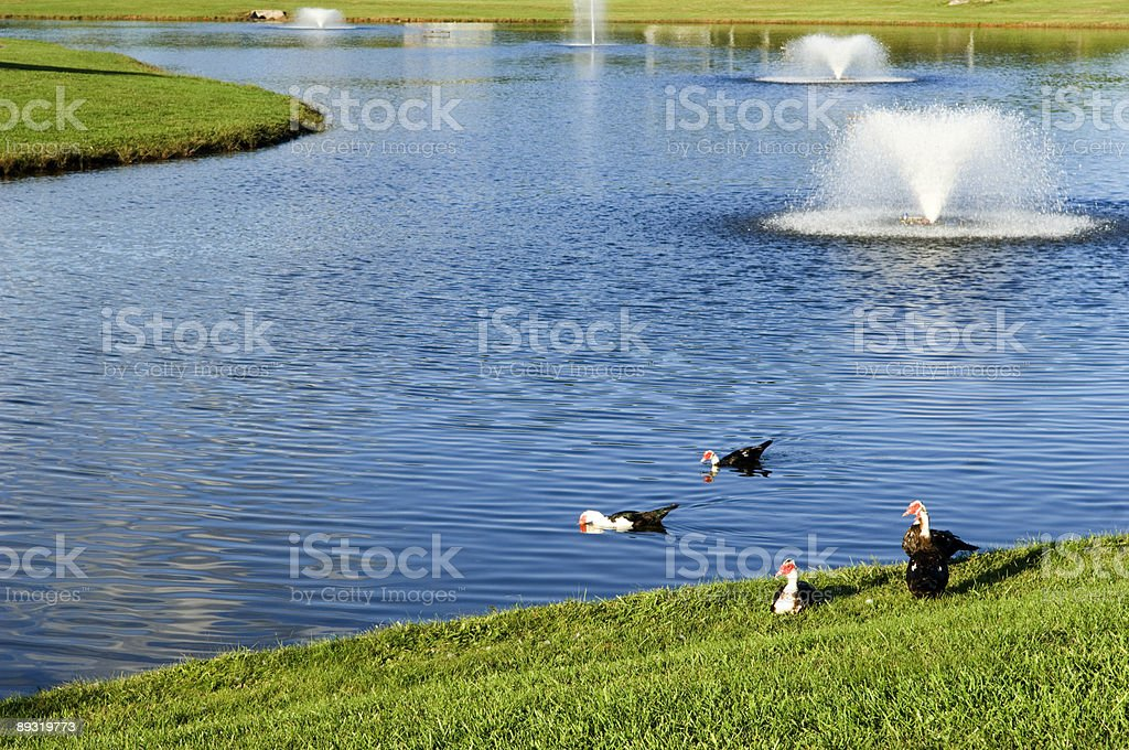 Pond with Fountains and Ducks Playing in Water stock photo