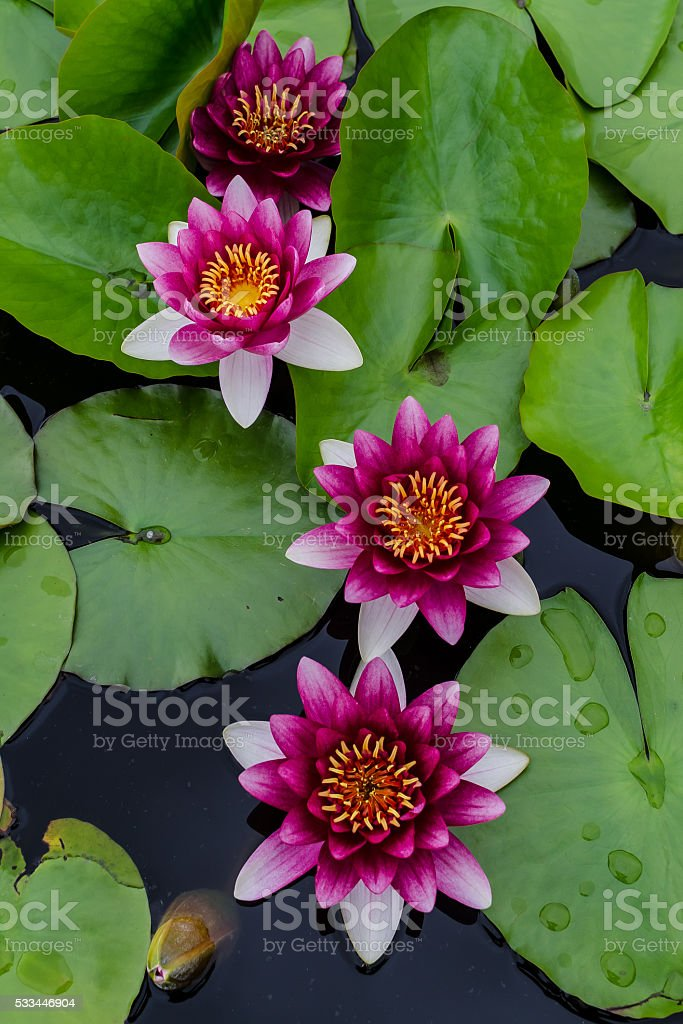 Pond with Red Water Lilies stock photo