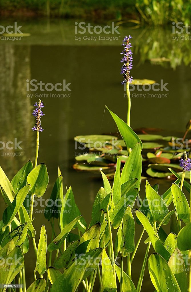 Pond with violet flowers and lily pads stock photo