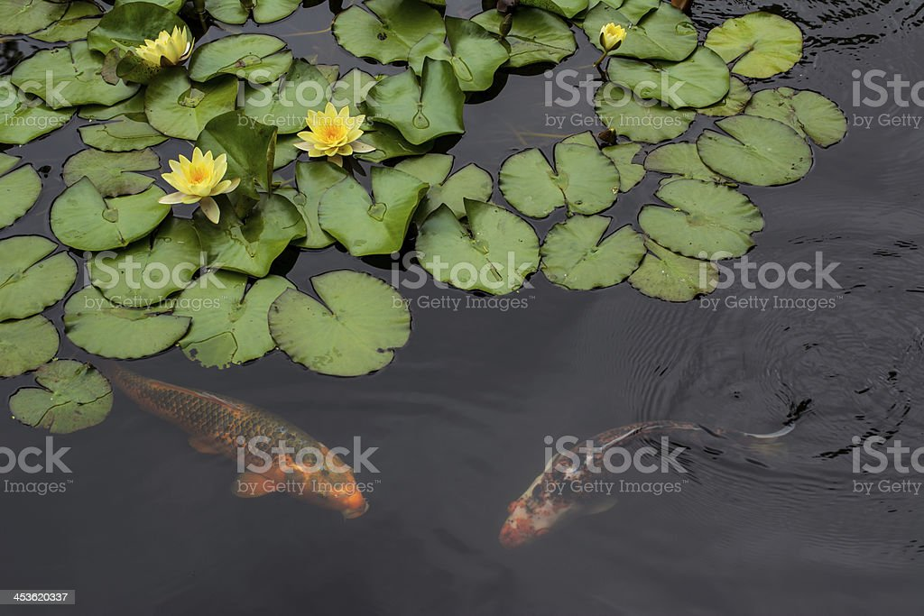 pond with water lily  and koi fish royalty-free stock photo