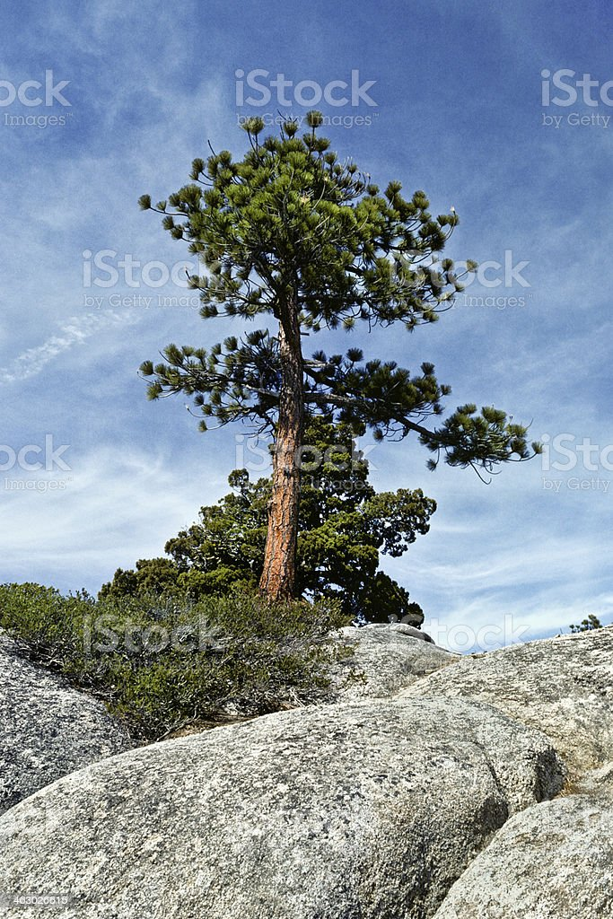 Ponderosa Pine and Boulders stock photo