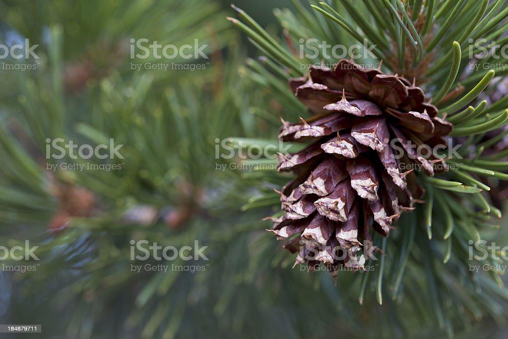Ponderosa Pine Cone Horizontal (pinus ponderosa) stock photo