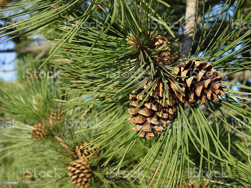 'ponderosa pine cones, close up on the tree' stock photo