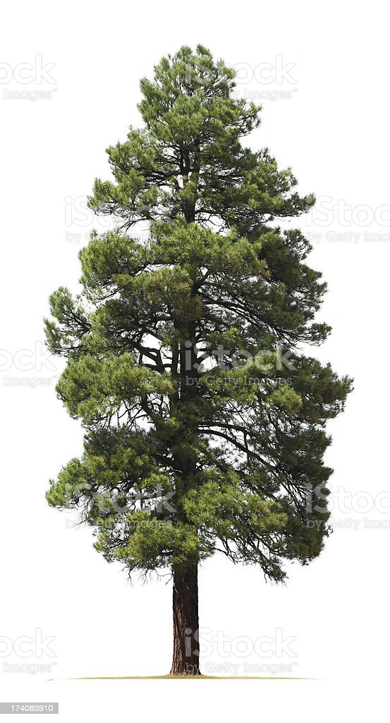 Ponderosa pine tree isolated on white background stock photo