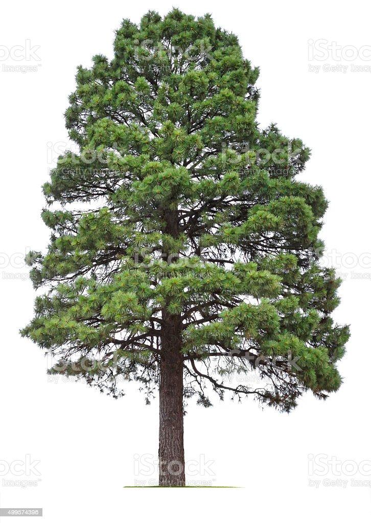 Ponderosa Pine Tree stock photo