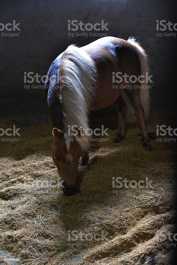 Poney in the barn stock photo