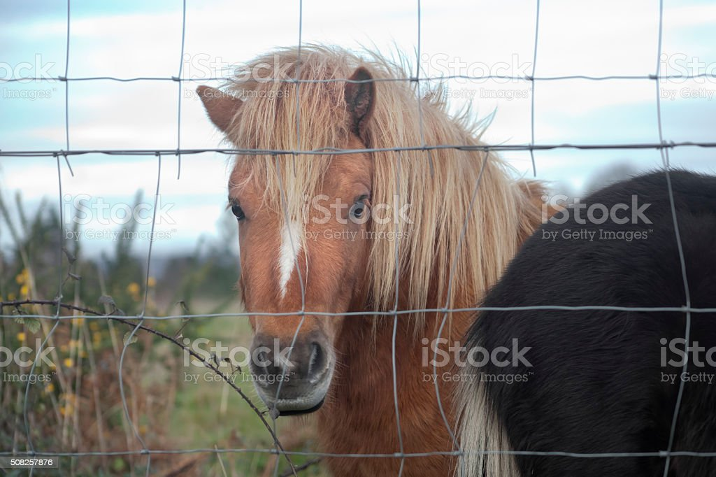 Ponies behind a wired fence. stock photo