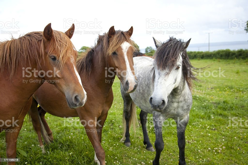 ponies in a paddock stock photo