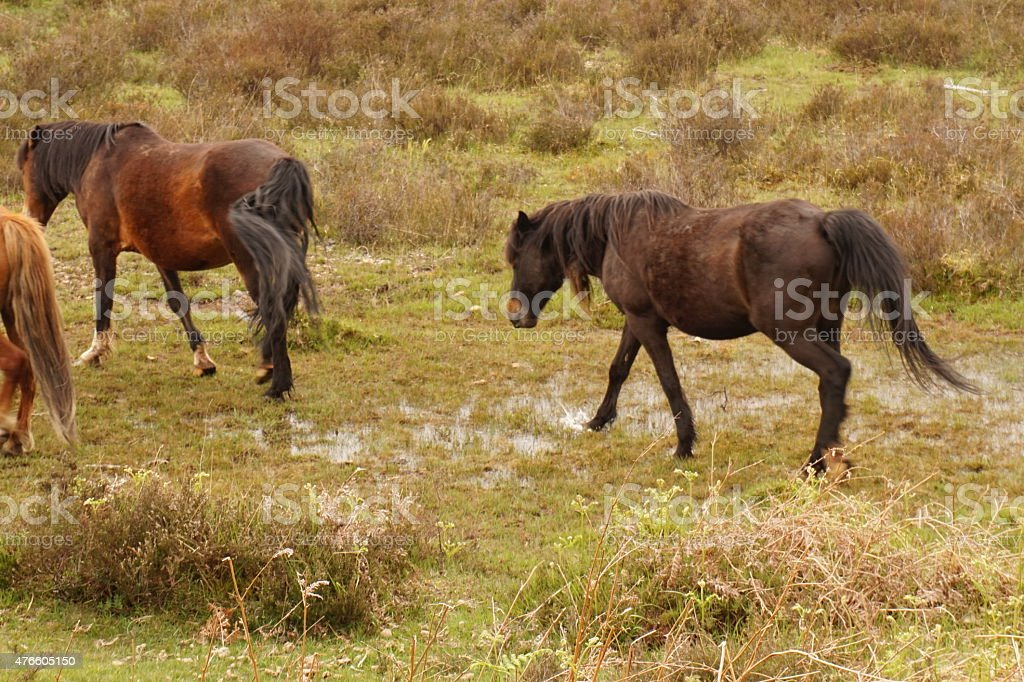 Ponies, New Forest. England. stock photo