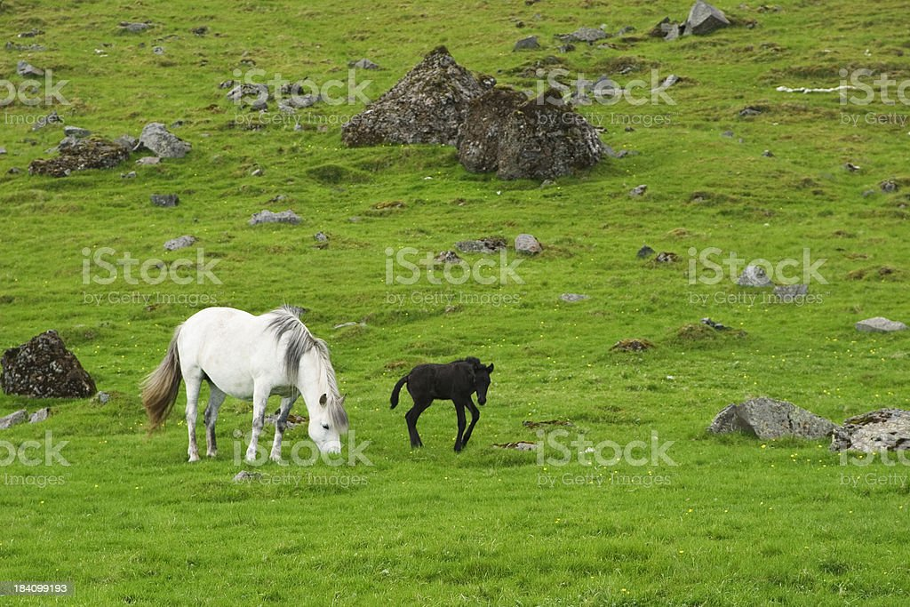 Pony and Foal stock photo