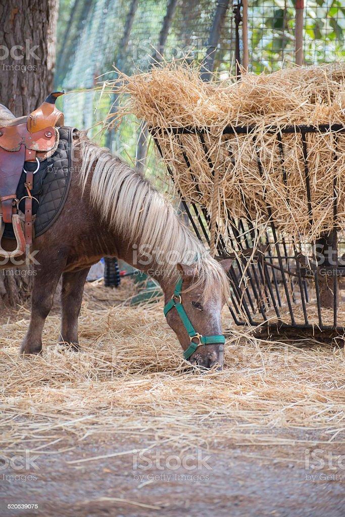 Pony eats hay in national park. stock photo