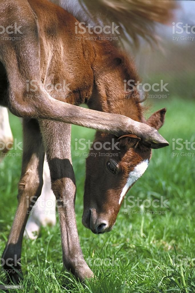 pony foal has good balance skills stock photo