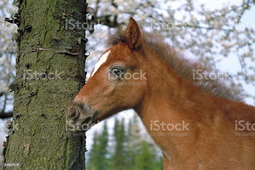 pony foal - horse portrait stock photo