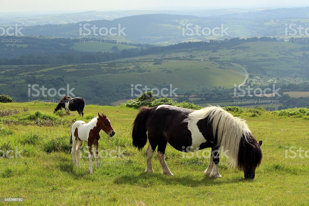 Pony Foal on Moorland, Dartmoor National Park. Amazing View stock photo