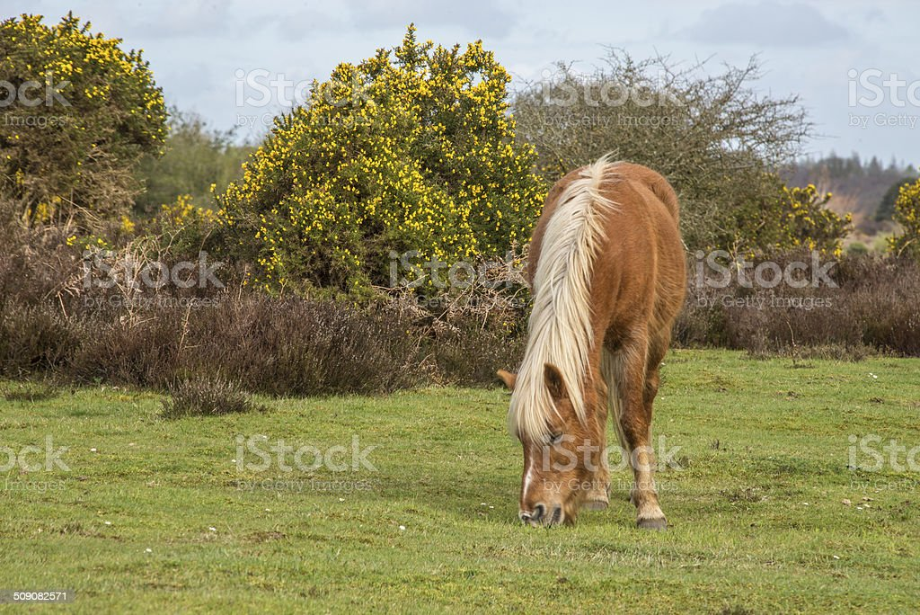 Pony grazing in the New Forest National Park royalty-free stock photo
