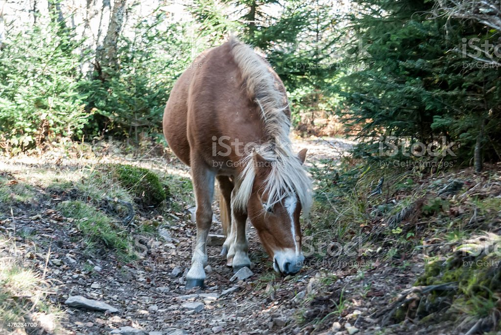 Pony in the Grayson Highlands stock photo