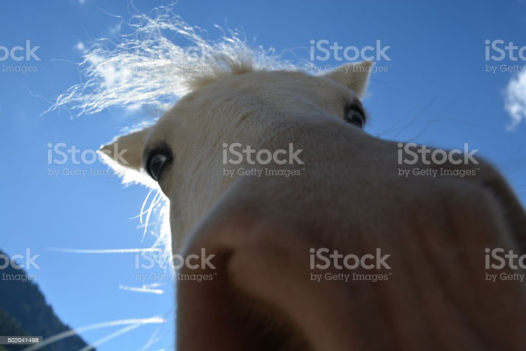 Pony royalty-free stock photo