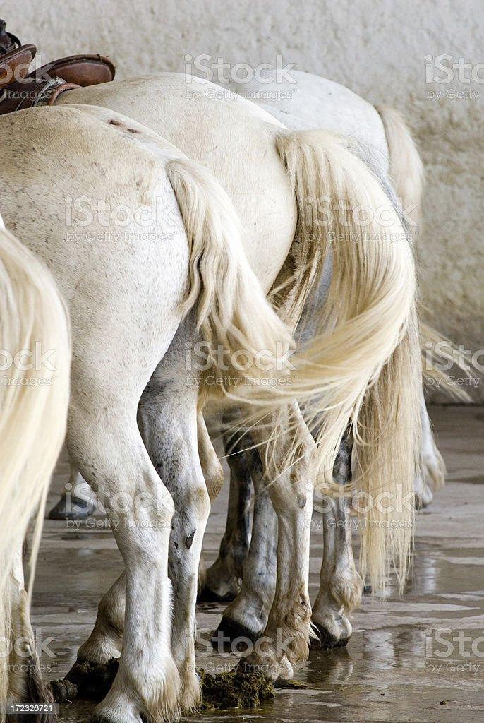 Pony Tails royalty-free stock photo
