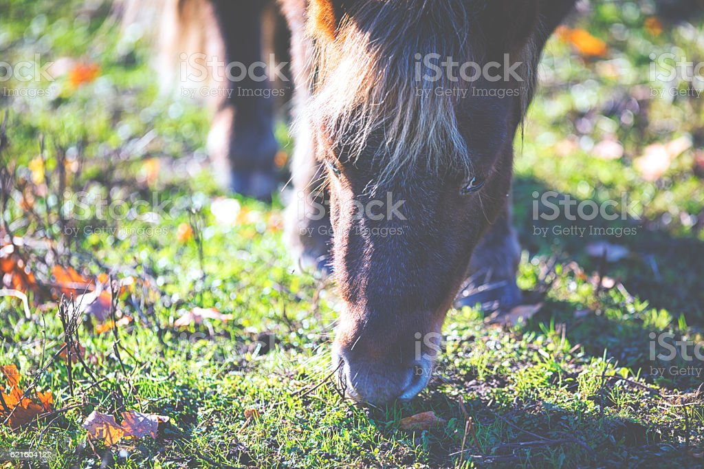 Pony with a fluffy nose stock photo