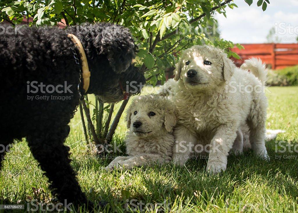 Kuvasz puppy stock photo