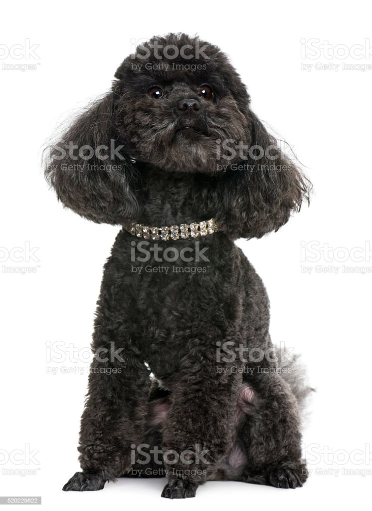 Poodle, 5 years old, with diamond collar, stock photo