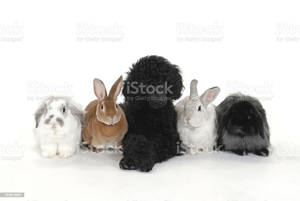 Poodle and Pals stock photo